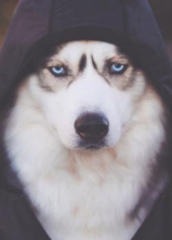 Một Quyền Husky
